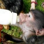 feeding a baby monkey