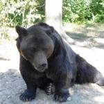 Romania bears